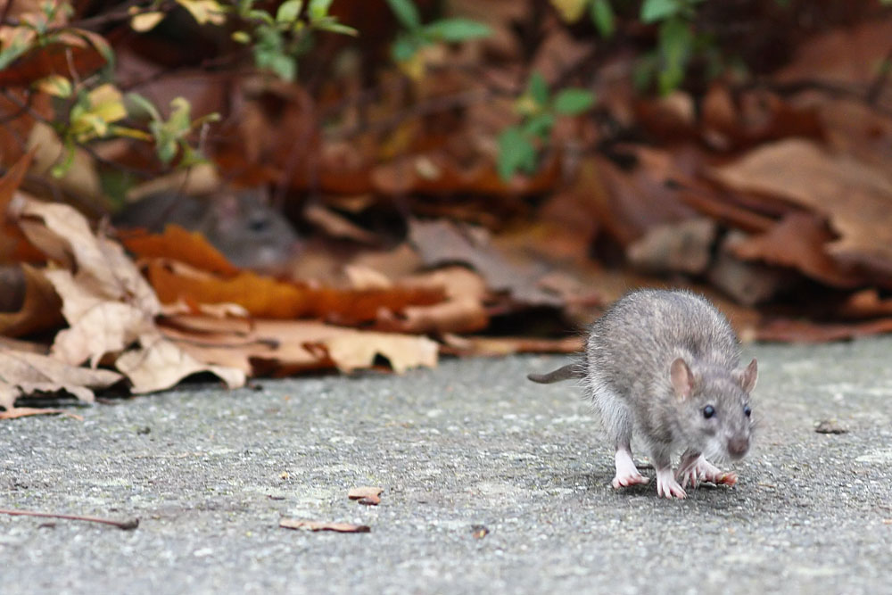 Study asks: 'Why can't rodents vomit?'   WIRED UK  Rat Vomit